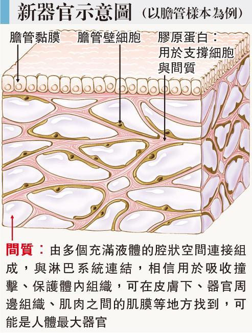 人體新器官曝光 「間質」蔓延全身 吸震兼助長癌擴散
