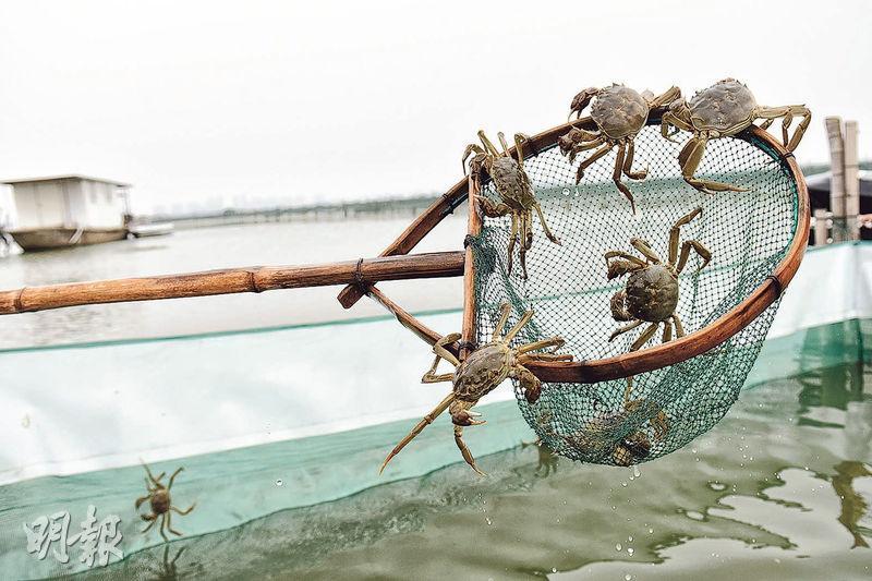 鹹淡水都有蟲 煮熟淺嘗度蟹季